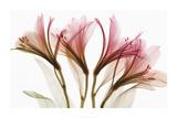 Alstroemeria bloemen Poster van Steven N. Meyers