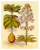 Lilium Montanum I Julisteet