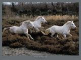 Equus, Camargue, Francia Poster di Hans Silvester