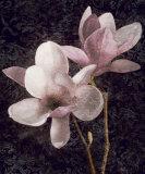 Pink Magnolias I Prints by John Seba