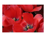 Red Tulips Photographic Print by Kim Avent-DiLorenzo
