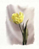 Yellow Tulip Print by Dick & Diane Stefanich