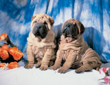 Sharpei Pups Poster af Chris Nikolson