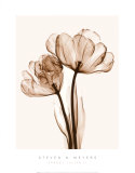 Parrot Tulips II Posters by Steven N. Meyers