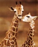 Giraffe: erste Liebe Kunstdrucke