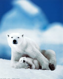 Polar Bear and Baby Photo