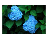 Blue Hydrangea Photographic Print by Dean T Giolas