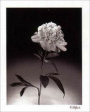 Peonies Prints by Dick &amp; Diane Stefanich