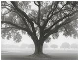 Silhouette Oak Posters av William Guion