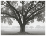 Silhouette Oak Posters by William Guion