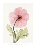 Iceland Poppy I Posters by Steven N. Meyers