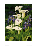 Calla Lily Poster by Franz Heigl