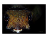 Happy Puffer Face Photographic Print by  Manta Vision
