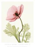 Iceland Poppy II Print by Steven N. Meyers