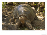 Lonesome George Last Surviver of the Race of the Galapagos Tortoise, Pinta Island, Galapagos Photographic Print by David M. Dennis