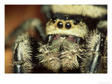 Jumping Spider, Phidippus Audax Florida, Ocala National Forest Photographie par David M. Dennis