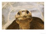 Race of Galapagos Tortoise, Giant Tortoise Breeding Center, Galapagos, Ecuador Fotografisk tryk af David M. Dennis