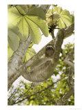 Three-Toed Sloth, Quepos, Costa Rica Fotografisk tryk af David M. Dennis