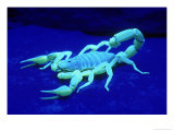 Giant Hairy Scorpion Photographic Print by David M. Dennis