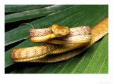 Brown Tree Snake, Boiga Irregularis Fotografisk tryk af David M. Dennis