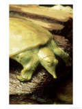 Gulf Coast Smooth Softshell Turtle, ND Photographic Print by David M. Dennis