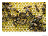 Honey Bees Photographic Print by David M. Dennis