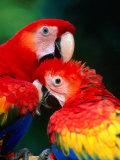Pair of Preening Scarlett Macaw (Ara Macao), Puntarenas, Costa Rica Photographie par Ralph Lee Hopkins