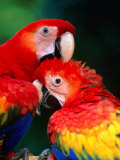 Pair of Preening Scarlett Macaw (Ara Macao), Puntarenas, Costa Rica Photographic Print by Ralph Lee Hopkins