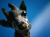 Close Up of a Giraffe's Head (Giraffa Camelopardalis), Tanzania, Africa Photographic Print by John Hay