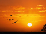 Frigate Birds Soaring at Sunrise, Cayos Cochinos, Islas De La Bahia, Honduras Papier Photo par Ralph Lee Hopkins