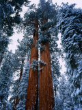 Giant Sequoia Tree Sequoia National Park, California, USA Photographic Print by Rob Blakers