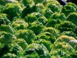 Lettuce at Olma (Eastern Swiss Agricultural Machines Exhibition), St. Gallen, Switzerland Fotodruck von Martin Moos
