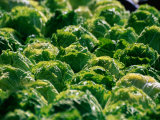 Lettuce at Olma (Eastern Swiss Agricultural Machines Exhibition), St. Gallen, Switzerland Photographic Print by Martin Moos