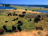 Bison (Bison Bison) Herd in Hayden Valley, Yellowstone National Park, Wyoming, USA Photographic Print by Carol Polich