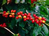 "The Red Coffee ""Cherry,"" Arabica Typica, Honaunau, Hawaii (Big Island), Hawaii, USA Fotografie-Druck von Ann Cecil"