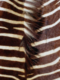 Zebra Skin Detail, Durban, Kwazulu-Natal, South Africa Photographic Print by Richard I&#39;Anson