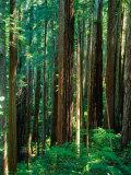 Castal Redwood Trees, California, USA Fotografisk tryk af Rob Blakers