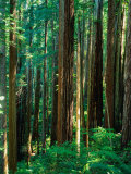Castal Redwood Trees, California, USA Photographic Print by Rob Blakers