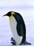 Emperor Penguin with Chick at Dawson-Lambton Glacier, Weddell Sea, Antarctica Photographic Print by David Tipling