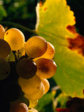 Chenin Blanc Grape Cluster, Napa Valley, California, USA Photographic Print by Roberto Gerometta