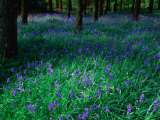 Bluebell (Nemophila) in Woodland at Baronscourt, Tyrone, Northern Ireland Photographic Print by Gareth McCormack