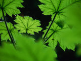 Water Drops on Leaves, Tongass National Forest, Baronof Island, Alaska, USA Photographic Print by Ralph Lee Hopkins