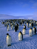 Emperor Penguin (Aptenodytes Forsteri) Colony at Dawson-Lambton Glacier, Weddell Sea, Antarctica Photographic Print by David Tipling