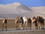 Wild Camels and Sand Dunes in Empty Southeast Quarter of Qatar, Jarayan Al Batnah, Qatar, Photographic Print