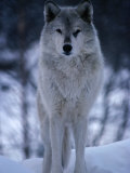 Grey or Timber Wolf (Canis Lupus) in the Alaskan Snow, Alaska, USA Fotografisk tryk af Mark Newman