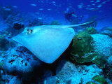 Stingray off the Florida Coast, Florida, USA Photographic Print by Greg Johnston