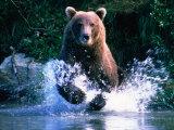 Grizzly Bear Running in Kinak Bay, Katmai National Park, U.S.A. Fotoprint van Mark Newman