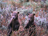 Two Grizzly Cubs (Ursus Arctos), Denali National Park & Preserve, Alaska, USA Photographic Print by Mark Newman