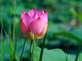 Lotus Flower at Lotus Farm, Phnom Krom, Angkor, Siem Reap, Cambodia Photographic Print by Richard I'Anson