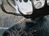 Bull Moose, Denali National Park & Preserve, Alaska, USA Fotografisk tryk af Mark Newman